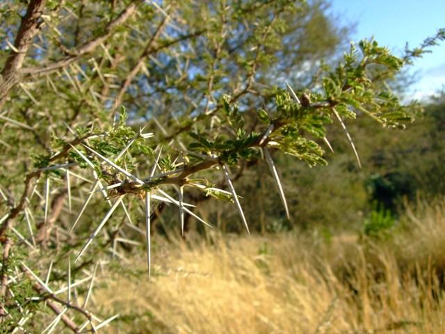 Pohon Zaqqum yg penuh duri